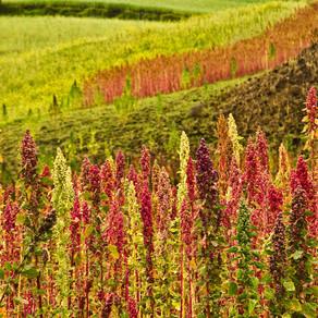 Quinoa - Health Food or Health Fad?