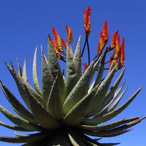 The Healing Power of Plants - Aloe