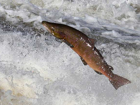 Salmon, is it really healthy?