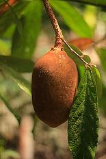 cupuaçu fruto_.jpg