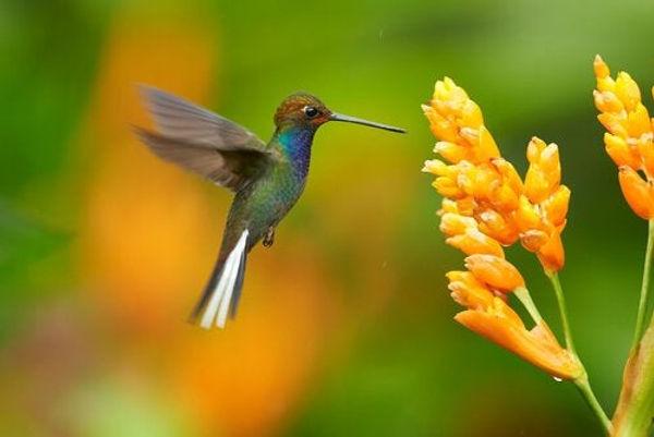 kolibri-och-gul-blomma.jpg