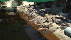 Crocodiles - Battabamg