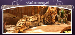 Shaloma Bengals Logo