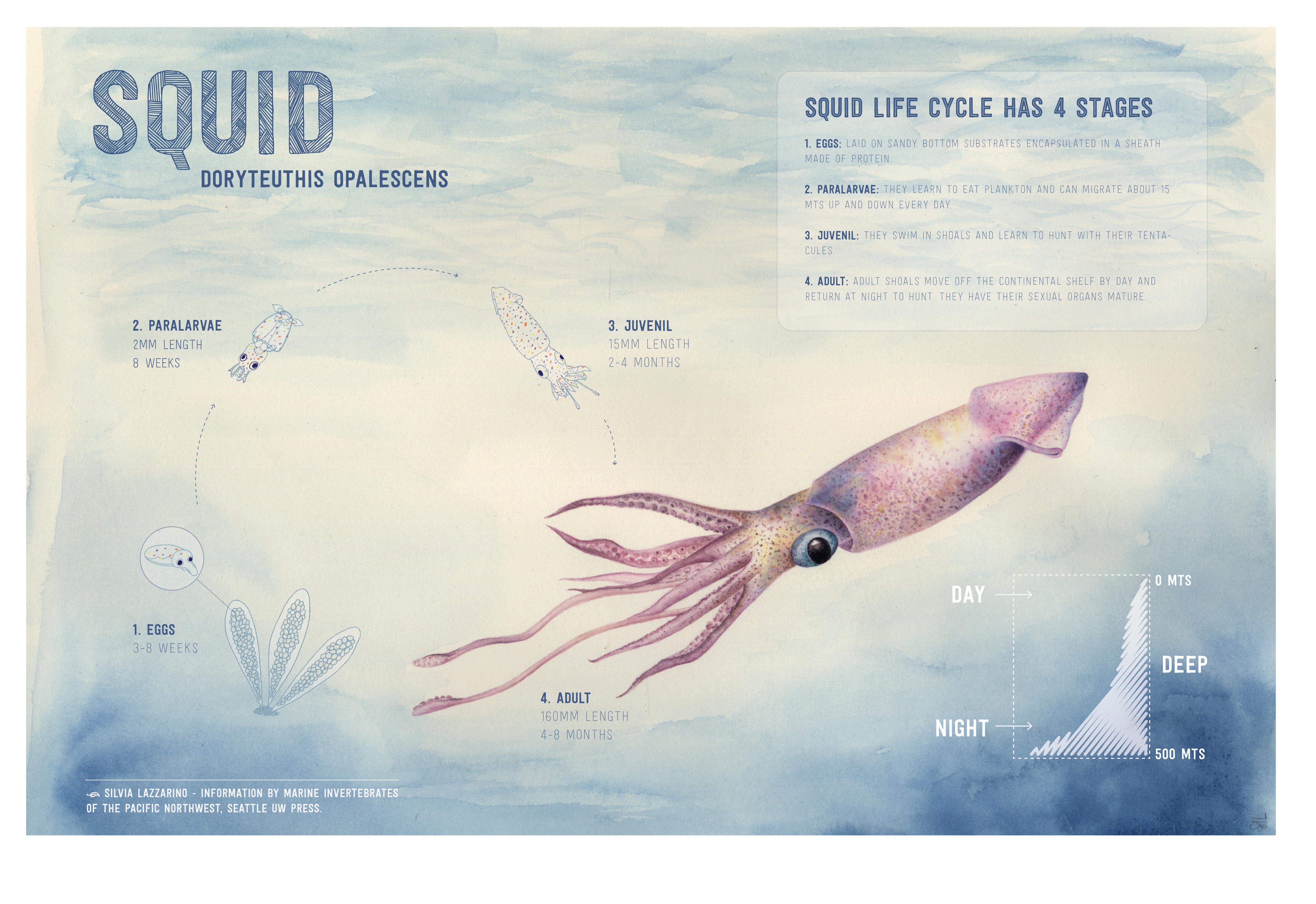 Infografía Calamar