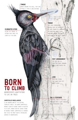Infografía carpintero magallánico