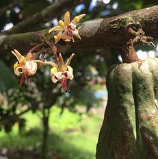 カカオの花.png