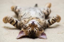 The small British kitten sleeps
