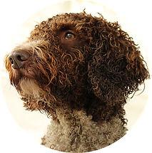 Sanchia Spansk Vattenhund