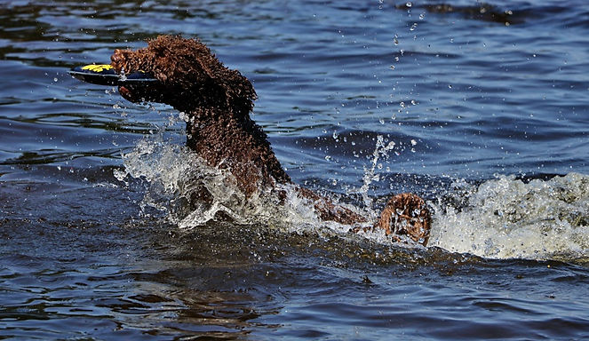 Vattenhundar
