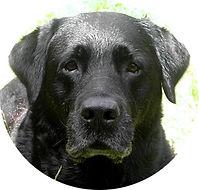 Enya Labrador och stamtik