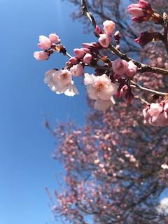 高遠桜,松本城