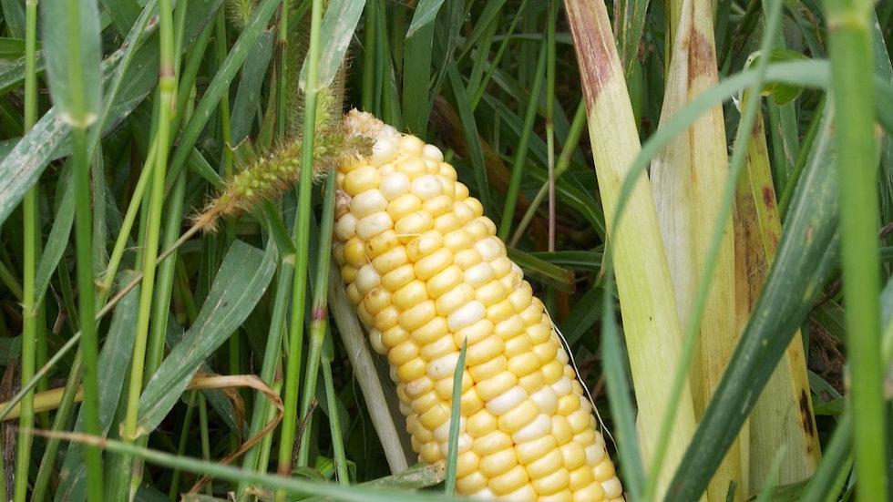 Corn [3pts) or (5pts)