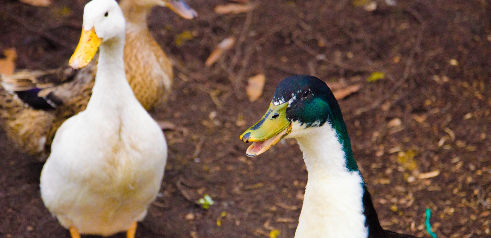 ducks glamping finca corazon.jpg