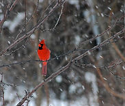 Cardinal at rivers run rochester