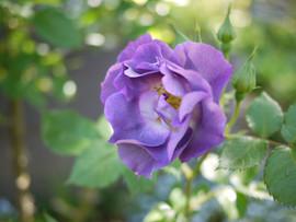 ヨコハマのバラ.JPG