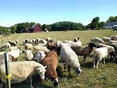Sheep grazing.jpg