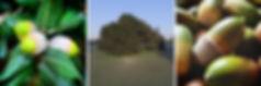 Holm oak Quercus ilex