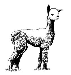 Petit Alpaca