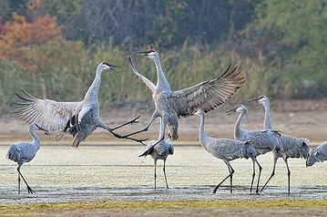 20161112-3603-sandhill-cranes-dancing-ro