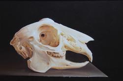 crâne de lièvre