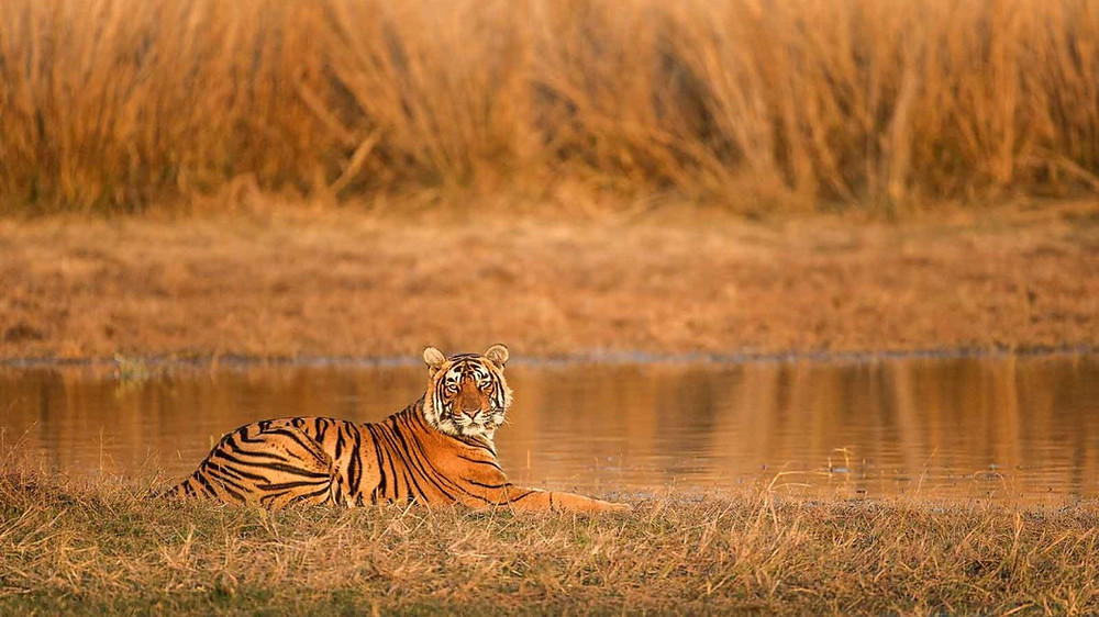 Ranthambore: Home of many legendary Bengal tigers  MERCYTRIP.COM