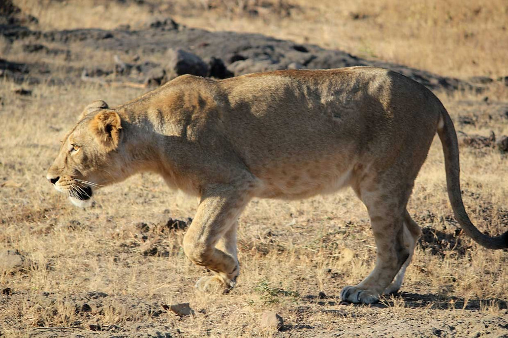 Gir: For the Asiatic lion mercytrip