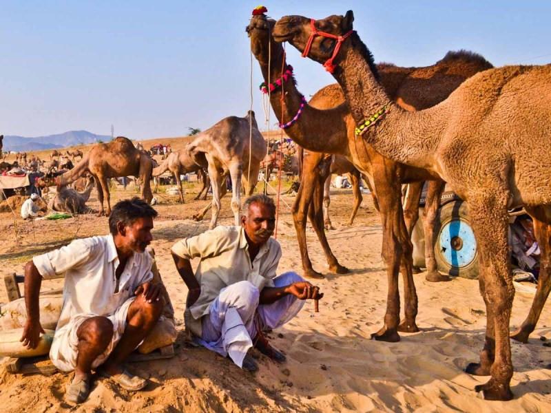 Pushkar Camel Fair   mercytrip.com