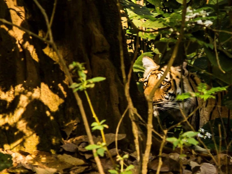 National Parks in India A Bengal Tiger peeks through the foliage  mercytrip