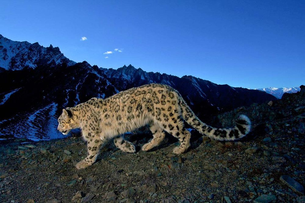 Snow Leopard in Hemis  MERCYTRIP.COM