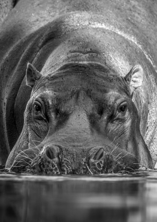 The Mighty Hippo