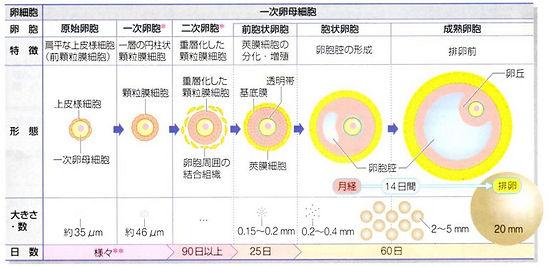 卵胞の成長.jpg