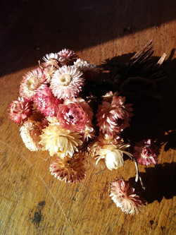 Pearl Pink Helichrysum