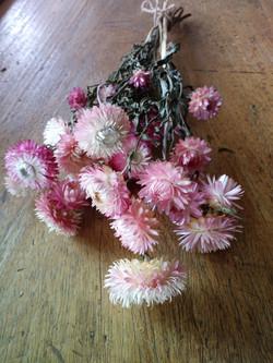 Pink Helichrysum