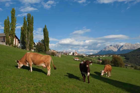 Deutschnofen Dorf Kühe Latemar - Othmar