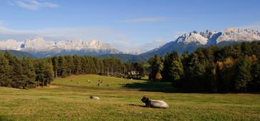 Herbst Kühe Rosengarten Latemar - Othmar