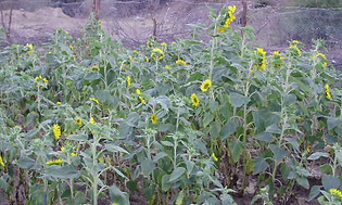 Phytomining using sunflowers in Mexico