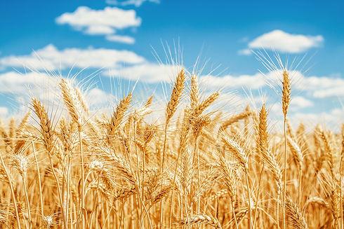 website wheat.jpg