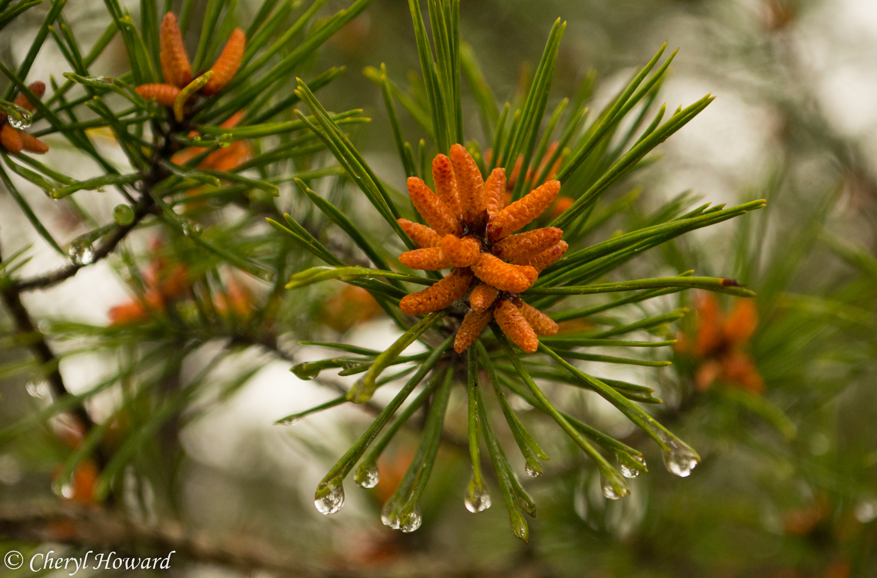 Pine Cone Bloom