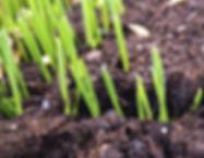 Aeration - New seedlings.JPG