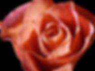 Rose Black BKGR.jpg