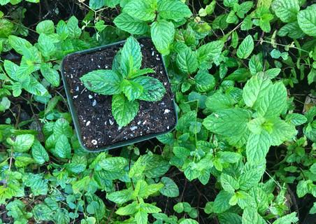 propagated mint