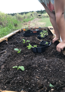 transplanting flowers into raised pallet beds