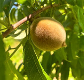 Baby Palisade Peach June 2021