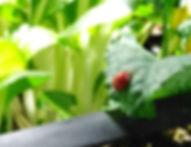 Ladybug on baby kale leaf