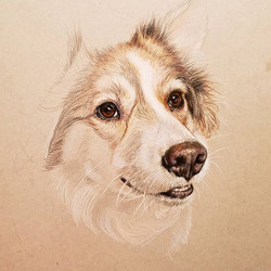 My Own Border Collie, Serafina - 11x14 - Not Available