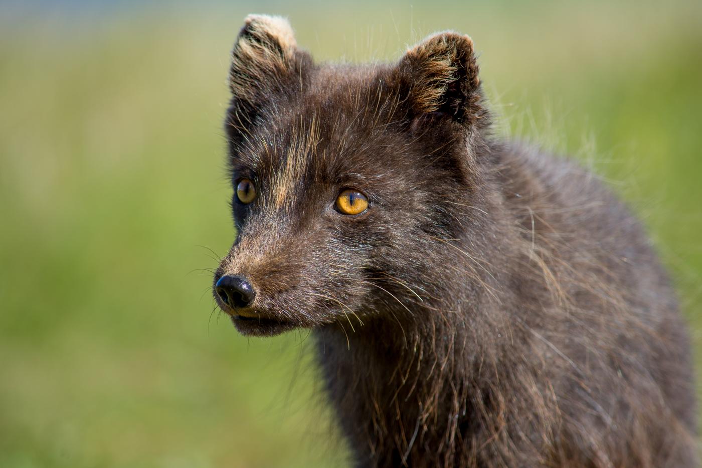 Arctic fox (5)