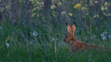 Photographing Brown Hares