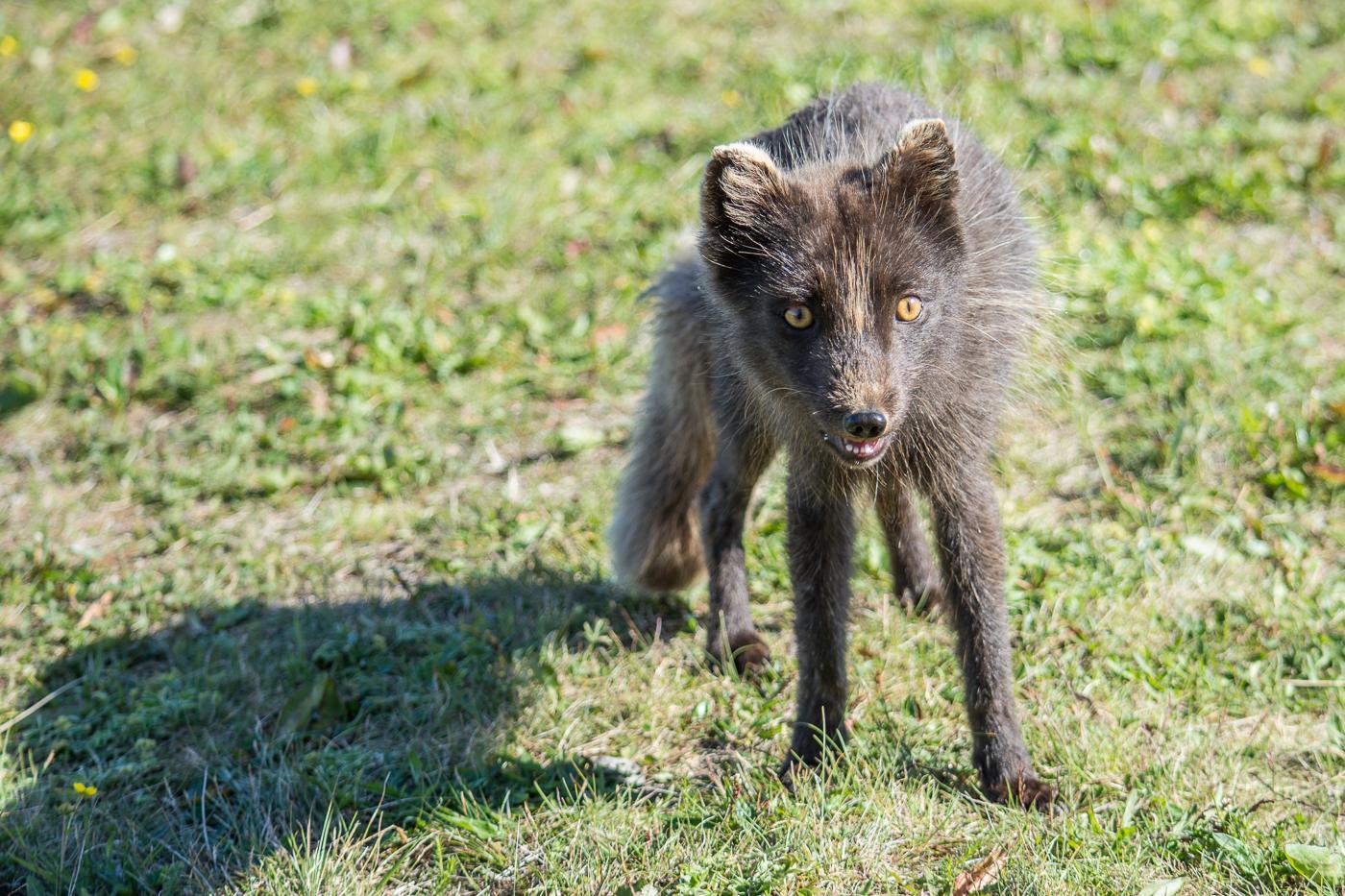 Arctic fox (11)