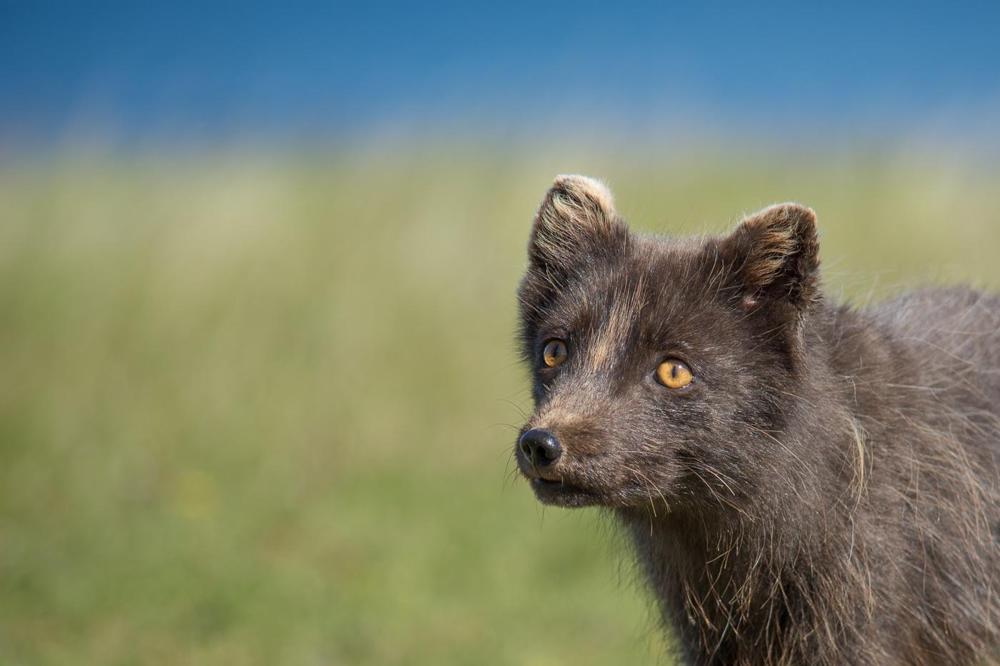 Arctic fox (3)