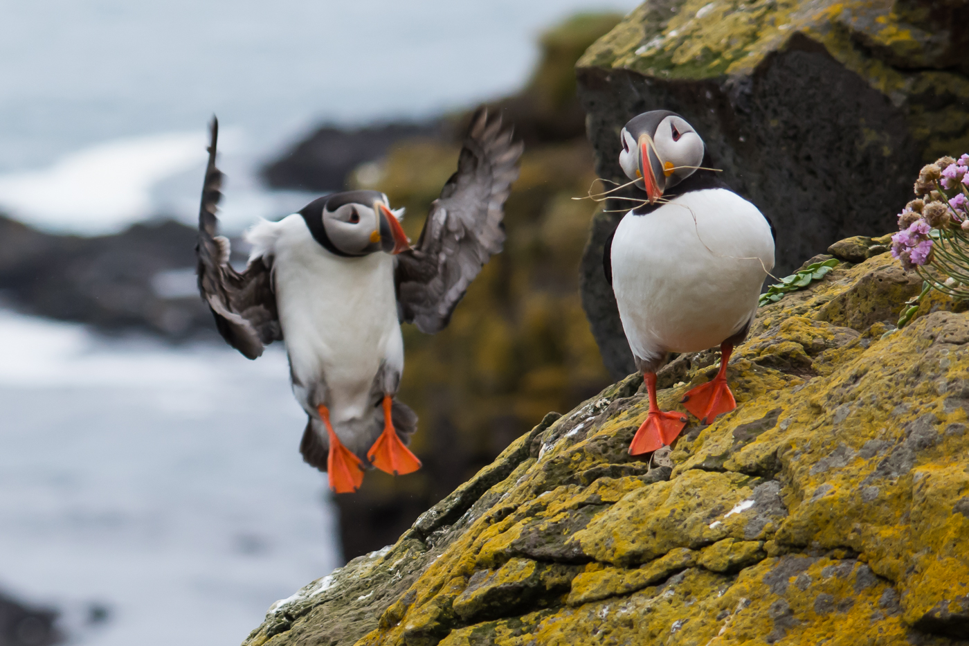 Atlantic Puffin (10)